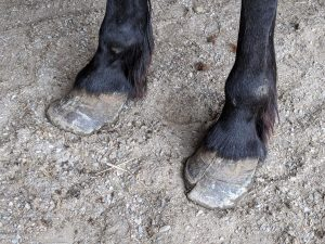 With severely overgrown and cracked hooves, this gelding is also in desperate need of farrier care.