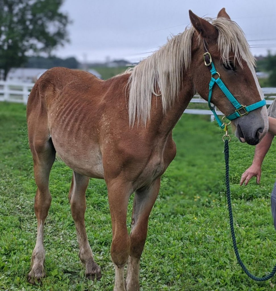 At just 50 pounds underweight, this sweet Belgian colt might seem to be ahead of some of the adult horses in the herd, but sustained deprivation at his young age can have lifelong negative effects. Like most of the horses in this herd, he also needs urgent farrier and dental care.